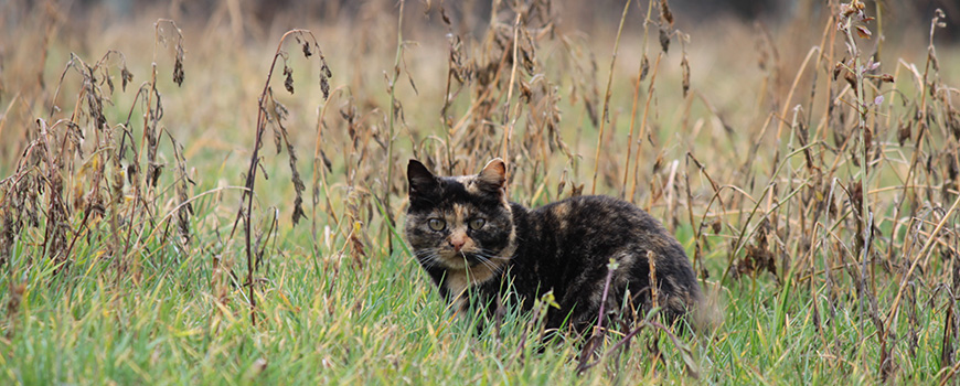 Feral Cats: The Invasive Ditch Leopard