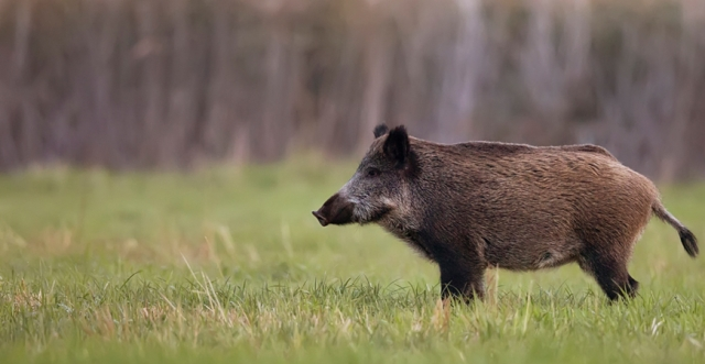 Avoiding Diseases Carried by Wild Hogs